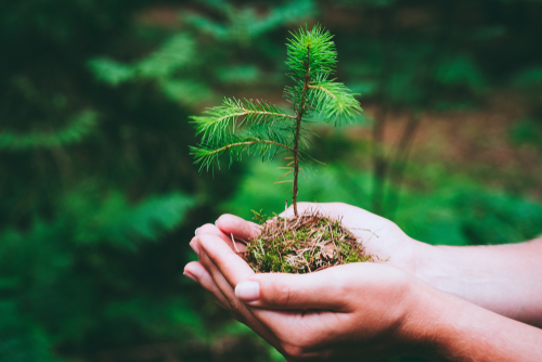 Female,Hand,Holding,Sprout,Wilde,Pine,Tree,In,Nature,Green